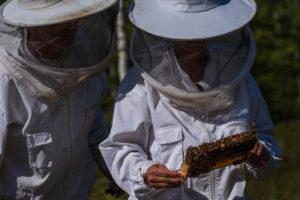 Eine Imkerei am Waldrand: Arbeitsalltag eines Imkers. Hier wird eine Königin (Weisel) eines Ableger-Bienenvolkes gesucht. 2 Imker suchen gemeinsam.