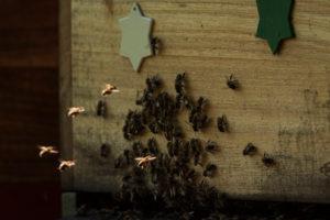 Eine Imkerei am Waldrand: Arbeitsalltag eines Imkers. Das Anfliegen der Bienen zum Bienenkasten.