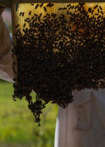 Eine Imkerei am Waldrand: Arbeitsalltag eines Imkers. Imker inspiziert die Wabe: hier eine Bienentraube bzw. Bautraube.