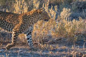 Eine Jeep-Tour durch Namibia, Leopard im Etoscha Nationalpark.