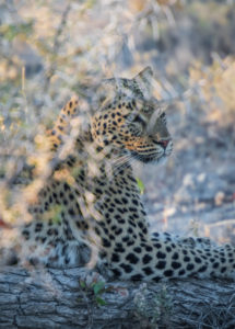 A jeep tour through Namibia, leopard lies well camouflaged on a tree trunk in the Etosha National Park.