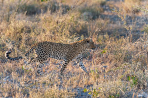 A jeep tour through Namibia, leopard in Etosha National Park.