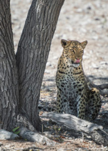 A jeep tour through Namibia, leopard in the Etosha National Park in the shade of a tree.