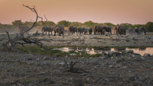 Elephants in Etosha at a water hole at sunset