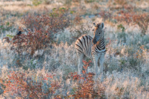 A jeep tour through Namibia, zebra foals in the Etosha National Park, very early in the morning, looking into the camera