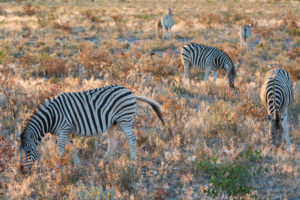A jeep tour through Namibia, five zebras in the first sunlight of the day in the Etosha National Park