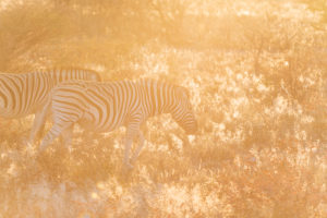 A jeep tour through Namibia, zebras in the first, early sunlight in the Etosha National Park