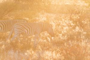 Eine Jeep-Tour durch Namibia, Zebras im ersten, frühen Sonnenlicht im Etoscha Nationalpark
