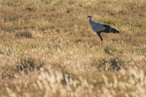 A jeep tour through Namibia, secretary bird in the tall grass in the Etosha National Park