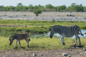 A jeep tour through Namibia, zebras in the Etosha National Park. Mother with foal