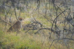 A jeep tour through Namibia, cheetah in the bushes, looking into the camera