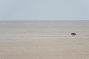 A jeep tour through Namibia, wildebeest in the Etosha National Park, in the Etosha salt pan
