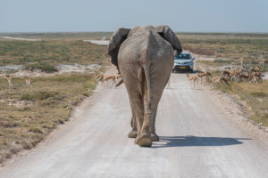 Elephant on the road in Etosha: car with tourists in the background