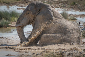 Elephant sits in the mud and takes a mud bath to cool off. Etosha, Namibia
