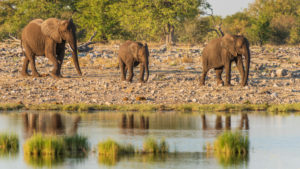 Elephants in Etosha: Elephant family in the warm afternoon light, reflection in the water