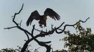 A jeep tour through Namibia, bird of prey lands on a branch