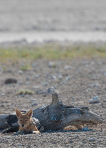 A jeep tour through Namibia, jackal in Etosha National Park in the partial shade of a tree stump