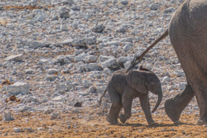 Elephants in Etosha: elephant calves follow their mother