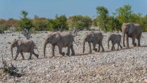 Elephants in Etosha: Elephant family on the way to the waterhole