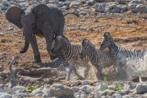 Elephant and 3 zebras at a water hole in Etosha National Park