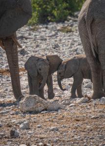 Elephants in Etosha: Two young animals between adult elephants