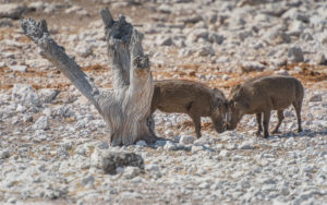A jeep tour through Namibia, 2 warthogs in fighting position near a tree stump
