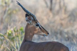 A jeep tour through Namibia, black-nosed impala, side profile