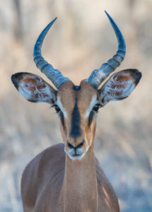 A jeep tour through Namibia, black-nosed impala, animal portrait, looking into the camera
