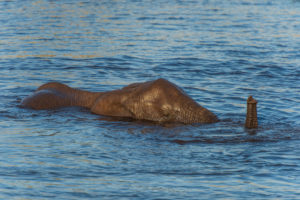 Elephant almost completely in the water, trunk over water. Etosha, Namibia