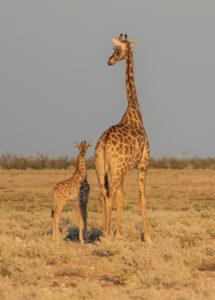 Eine Jeep-Tour durch Namibia, Giraffen im Etoscha Nationalpark. Giraffe mit ihrem Kalb im warmen Nachmittagslicht