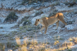 A jeep tour through Namibia, lioness in penumbra
