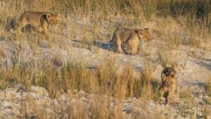 A jeep tour through Namibia, 3 lion pups in the savannah