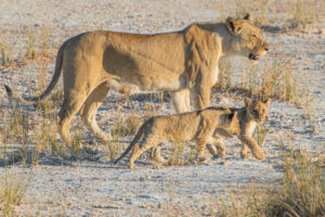 A jeep tour through Namibia, lioness with 2 pups, side profile