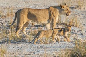Eine Jeep-Tour durch Namibia, Löwin mit 2 Welpen, Seitenprofil