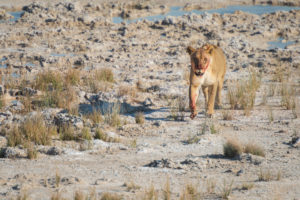 A jeep tour through Namibia, lioness still smeared with blood, looking into the camera