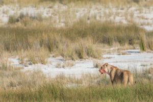 Eine Jeep-Tour durch Namibia, Löwin ruft ihre Welpen um ein gerissenes Tier zu fressen