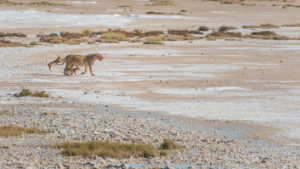 A jeep tour through Namibia, lioness has brought her pups to eat a torn animal