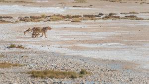 Eine Jeep-Tour durch Namibia, Löwin hat ihre Welpen geholt um ein gerissenes Tier zu fressen