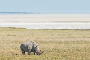 A jeep tour through Namibia, rhinoceros in Etosha National Park, salt pan in the background