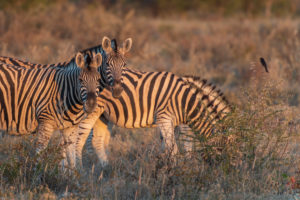 A jeep tour through Namibia, zebras in the Etosha National Park shortly after sunrise