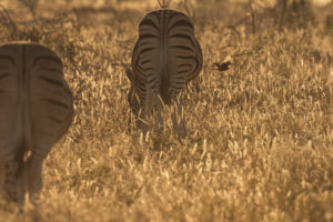 A jeep tour through Namibia, zebras in the Etosha National Park in the early morning light