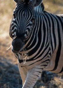 A jeep tour through Namibia, zebra in the Etosha National Park, close-up