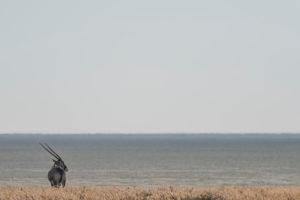 A jeep tour through Namibia, oryx in the Etosha National Park