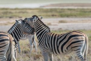 A jeep tour through Namibia, zebras in the Etosha National Park