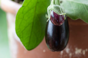 Harvesting aubergines and cooking them vegetarian: healthy and sustainable nutrition from your own garden. Two eggplants, pot culture