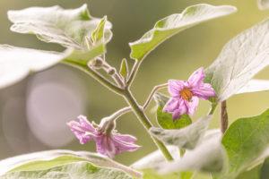 Auberginen ernten und vegetarisch kochen: gesunde und nachhaltige Ernährung aus dem eigenen Garten. Zwei Auberginenblüten.