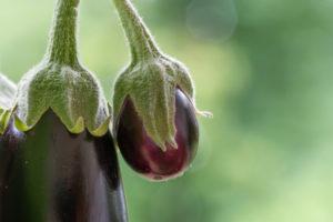 Auberginen ernten und vegetarisch kochen: gesunde und nachhaltige Ernährung aus dem eigenen Garten. Zwei Auberginen, Nahaufnahme.