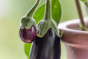 Auberginen ernten und vegetarisch kochen: gesunde und nachhaltige Ernährung aus dem eigenen Garten. Auberginen als Balkonpflanze in einem Terracottatopf.