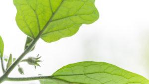 Auberginen ernten und vegetarisch kochen: gesunde und nachhaltige Ernährung aus dem eigenen Garten. Auberginenpflanze im Gegenlicht; high-key Aufnahme.
