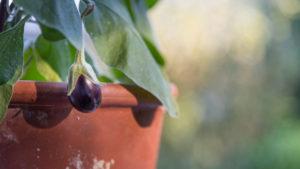 Auberginen ernten und vegetarisch kochen: gesunde und nachhaltige Ernährung aus dem eigenen Garten. Auberginenpflanze im Topf